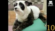 10 dogs look like pandas