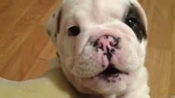 Bentley Bulldog