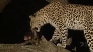 Leopard Kills Babooin , Saves Its Baby From Hyenas