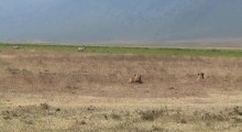 Wildlife in Ngorongoro (Tanzania): lions hunting zebra for breakfast